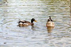 鸭子夫妇 免版税库存照片