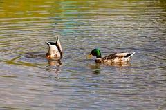 鸭子夫妇 库存图片