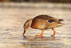 鸭子女性查出的空白通配野生生物 免版税图库摄影