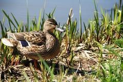 鸭子女性查出的空白通配野生生物 免版税库存图片