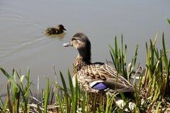 鸭子女性查出的空白通配野生生物 免版税库存照片