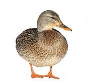 鸭子女性野鸭 库存图片