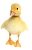 鸭子好的小的黄色 库存图片