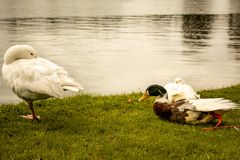 鸭子家庭在好日子 免版税库存照片