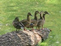 鸭子家庭在捷克共和国 库存图片