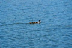 鸭子家庭在湖,莱里达省的 库存照片
