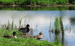 鸭子家庭在秋天池塘 免版税库存图片