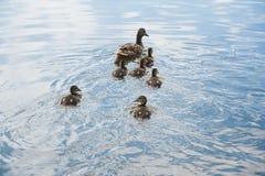 鸭子家庭在水中 库存照片