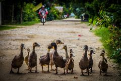 鸭子家庭散步 免版税库存图片