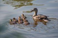鸭子家庭游泳 免版税库存图片