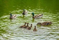 鸭子家庭 图库摄影