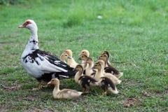 鸭子家庭 库存图片