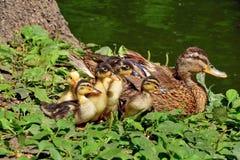 鸭子家庭 库存照片