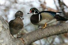 鸭子对木头 库存照片