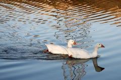 鸭子对白色 库存图片