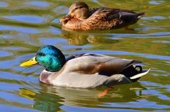 鸭子对 免版税图库摄影