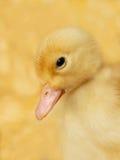 鸭子小的黄色 免版税库存图片
