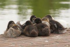 鸭子小组 库存照片