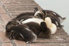 鸭子小组 库存图片