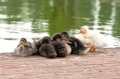 鸭子小组 免版税库存图片