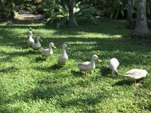 鸭子庭院 免版税库存照片