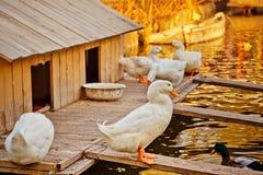 鸭子房子 免版税库存图片
