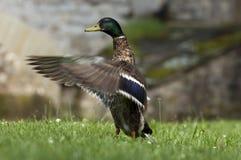鸭子拍动翼 库存照片