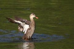 鸭子拍动 免版税库存图片
