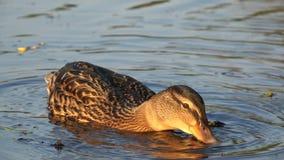 鸭子捉住面包屑潜水头首先入水 影视素材