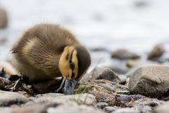 鸭子探索的海滩洛蒙德湖 库存图片