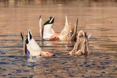 鸭子接界  图库摄影