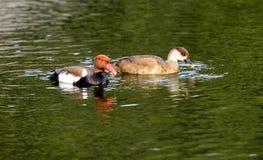 鸭子搜寻 图库摄影