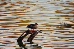 鸭子摄影 库存图片