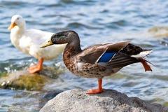 鸭子摆在 库存图片