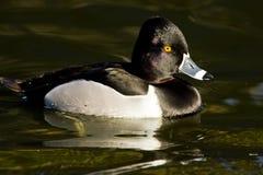 鸭子收缩的环形 库存图片