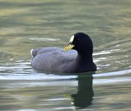 鸭子是水禽 库存照片