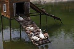 鸭子晒日光浴的时间 库存照片