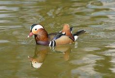 鸭子普通话 免版税库存照片