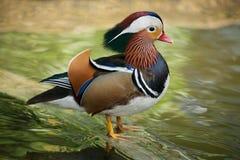 鸭子普通话 库存图片