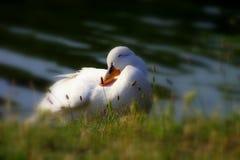 鸭子最甜的世界 免版税库存图片