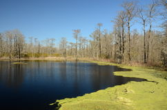 鸭子杂草和黑水池 图库摄影
