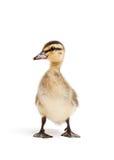 鸭子查出的白色 库存图片