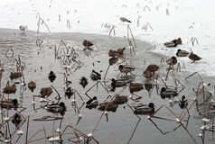 鸭子格式化原始冻结的湖 库存图片