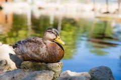 鸭子棕色野鸭说谎坐被看见每羽毛背景的一个石湖池塘夏天晴天特写镜头 免版税库存照片