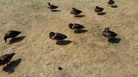 鸭子横渡 库存照片