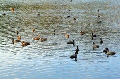 鸭子水 免版税图库摄影