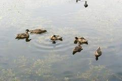 鸭子池塘游泳 免版税库存照片
