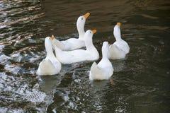 鸭子池塘 的臂章 免版税库存照片