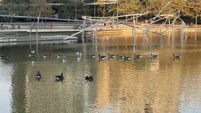 鸭子池塘 图库摄影