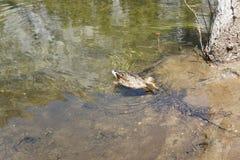 鸭子池塘 免版税图库摄影